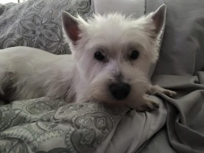 North Atlantic Westie Rescue » Brooklyn